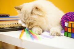 Un chat sibérien femelle sur le fond jaune Images libres de droits