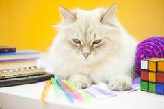 Un chat sibérien femelle sur le fond jaune Image libre de droits