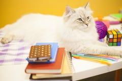 Un chat sibérien femelle sur le fond jaune Images stock