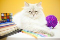 Un chat sibérien femelle sur le fond jaune Image stock