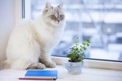 Un chat sibérien sur un filon-couche de fenêtre Photo stock