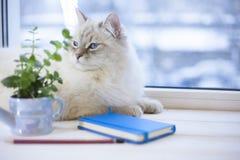 Un chat sibérien sur un filon-couche de fenêtre Photos libres de droits