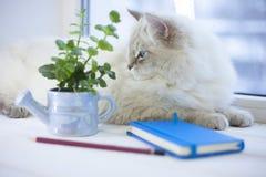 Un chat sibérien sur un filon-couche de fenêtre Image stock