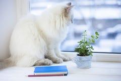 Un chat sibérien sur un filon-couche de fenêtre Photographie stock