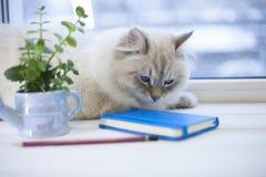 Un chat sibérien sur un filon-couche de fenêtre Images stock
