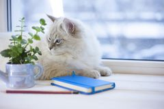 Un chat sibérien sur un filon-couche de fenêtre Photo libre de droits
