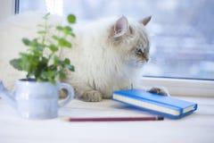 Un chat sibérien sur un filon-couche de fenêtre Photographie stock libre de droits