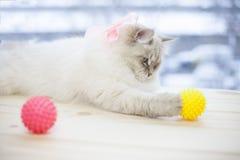 Un chat sibérien sur un filon-couche de fenêtre Photos stock