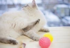 Un chat sibérien sur un filon-couche de fenêtre Image libre de droits