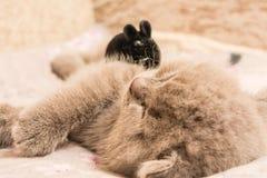 Un chaton aux oreilles tombantes écossais dort de son côté photos stock