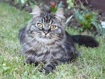 Un chaton brun aux cheveux longs mignon très beau Photographie stock libre de droits