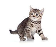 Un chaton espiègle. Race des Anglais. Tabby. Photos libres de droits