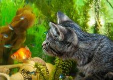 Un chaton observe des poissons dans un aquarium Photos libres de droits
