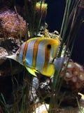 Un Chelmon dans l'aquarium Photo stock