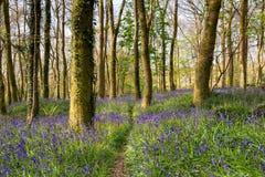 Un chemin à travers des bois de jacinthe des bois Image stock