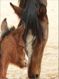 Un cheval avec un poulain Photographie stock libre de droits
