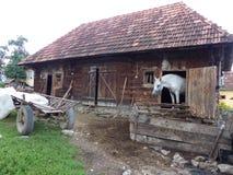 Un cheval blanc à l'intérieur d'une stalle avec une partie du corps dans le pays du Maramures en Roumanie photo libre de droits