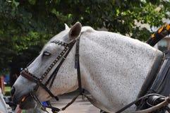 Un cheval blanc Photographie stock