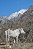 Un cheval blanc au pied de la montagne de neige Images stock