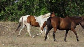 Un cheval blanc et brun fonctionne dans un verger de forêt dans le ralenti banque de vidéos