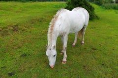 Un cheval blanc frôlant dans un domaine vert photographie stock
