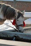 Un cheval blanc potable Image stock