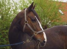 Un cheval brun Photos stock