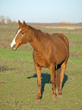 Un cheval brun. Photos libres de droits