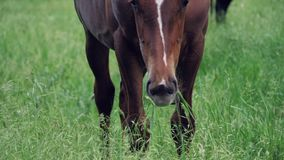 Un cheval brun frôle dans un pré et mange l'herbe verte clips vidéos