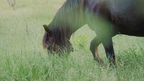 Un cheval brun frôle dans un pré et mange l'herbe verte banque de vidéos