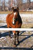 Un cheval brun sur le pré Image libre de droits