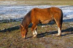 Un cheval brun sur le pré Photo libre de droits
