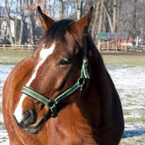 Un cheval brun sur le pré - plan rapproché Image libre de droits
