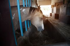 Un cheval dans son écurie à une ferme de goujon de cheval Image stock