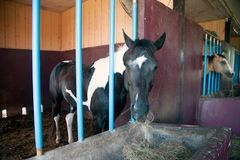 Un cheval dans son écurie à une ferme de goujon de cheval Photo stock