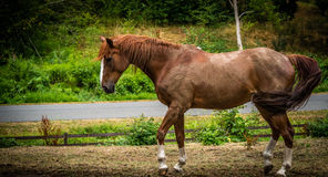 Un cheval de baie dans un corral extérieur Photographie stock