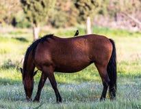 Un cheval de Brown avec un oiseau là-dessus photos stock