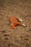 Un cheval de sommeil Brown Photos stock
