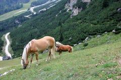Un cheval et un poulain Images libres de droits