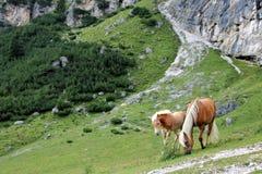 Un cheval et un poulain Photos stock