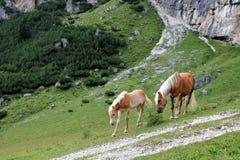 Un cheval et un poulain Photographie stock