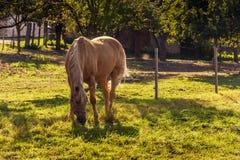 Un cheval frôlant sur un pré Photographie stock