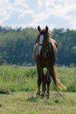 Un cheval frôle Image stock