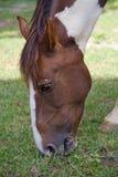 Un cheval gentil prend l'herbe photos stock