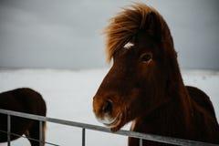 Un cheval islandais images stock