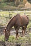 Un cheval mange l'herbe Images libres de droits