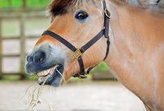 Un cheval mangeant un certain foin Photographie stock libre de droits