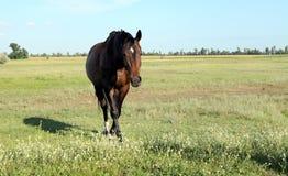 Un cheval marche dans le domaine Le poulain marche avec ses parents Images stock