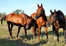 Un cheval marche dans le domaine Le poulain marche avec ses parents Image libre de droits
