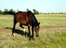 Un cheval marche dans le domaine Le poulain marche avec ses parents Photos stock
